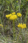 Low pinebarren milkwort